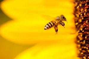 Eine Bienen im Anflug auf eine Blüte. Sie arbeitet am Aufbau und Ausbau ihres Volkes.