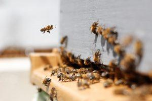 Bienen auf dem Anflugbrett ihrer Bienenbeute.