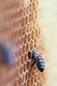 Eine fleißige Bienen lagert ihren gesammelten Honig in einer Wabe ein.