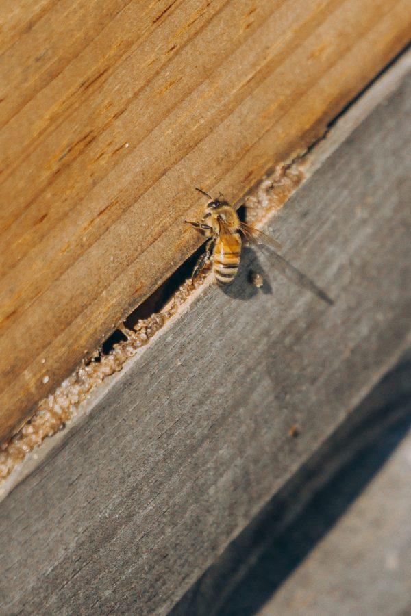 Karten Motiv Nr. 1 für die Bienenpatenschaft als Geschenk