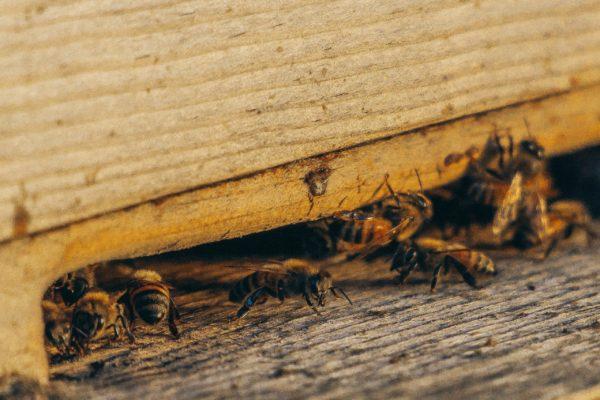 Karten Motiv Nr. 3 für die Bienenpatenschaft als Geschenk