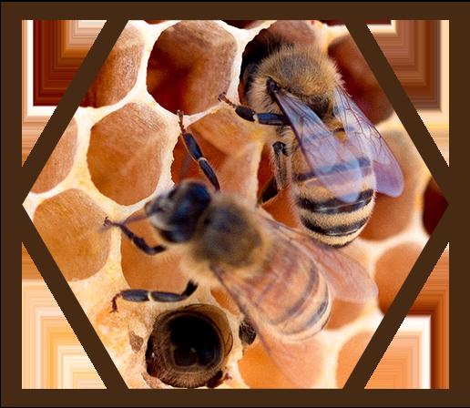 Bienen auf Wabe in ihrem Stock