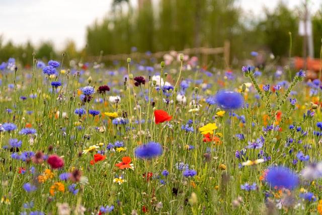 Eine Wildblumenwiese. Sie braucht wenig Pflege, sieht gut aus und bietet vielen Wildbienen und anderen Insekten Nahrung und Lebensraum.