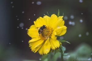 Eine Biene im Regen. Auch wenn Bienen ungerne nass werden, ist Wasser an heißen Tagen sehr wichtig für sie. Mit einer Insektentränke kannst du ihnen helfen.