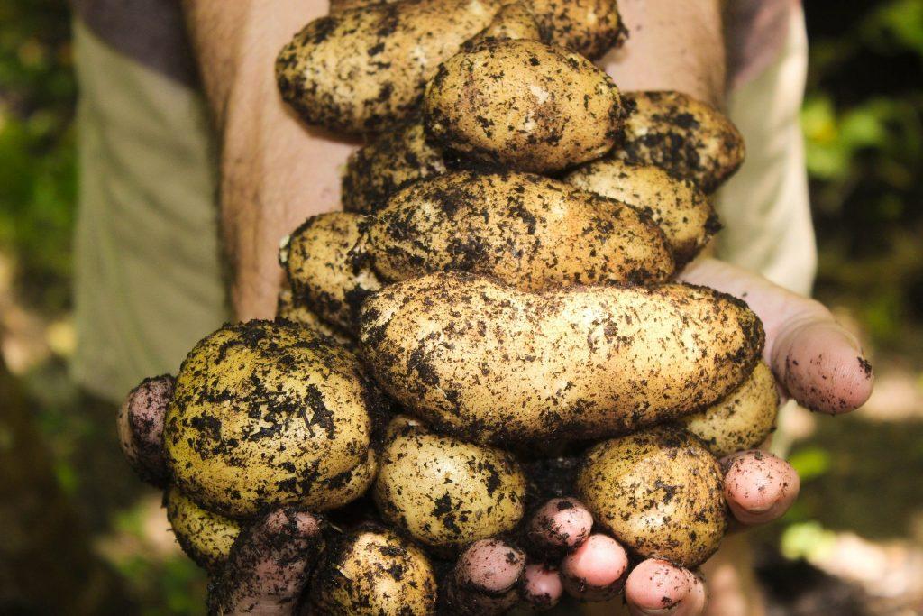 Auch bei Kartoffeln ist es so leicht. Einfach die Erde dran lassen und schon halten sie länger. Lebensmittel haltbar machen ist nicht schwer.