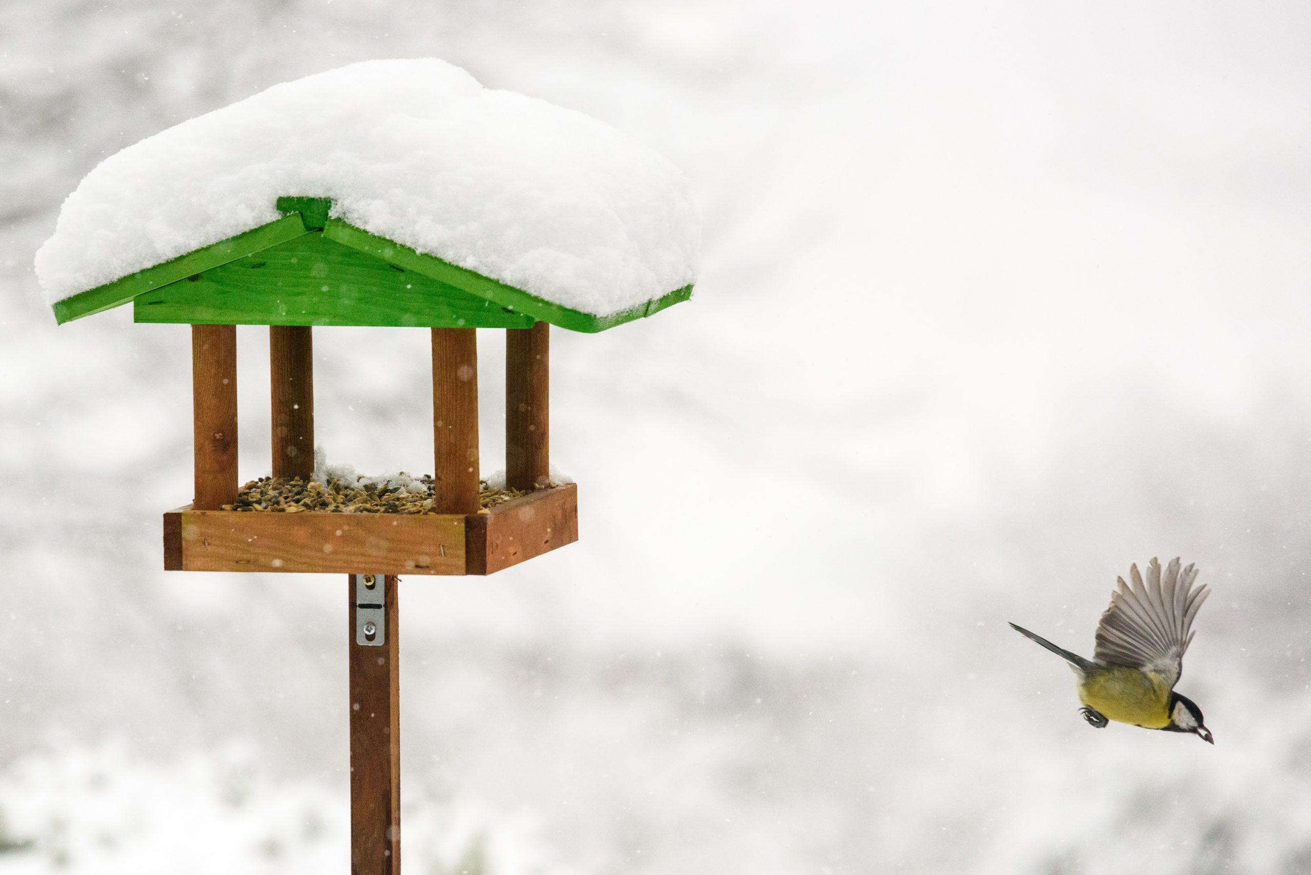 Kohlmeise auf Nahrungssuche im Winter.