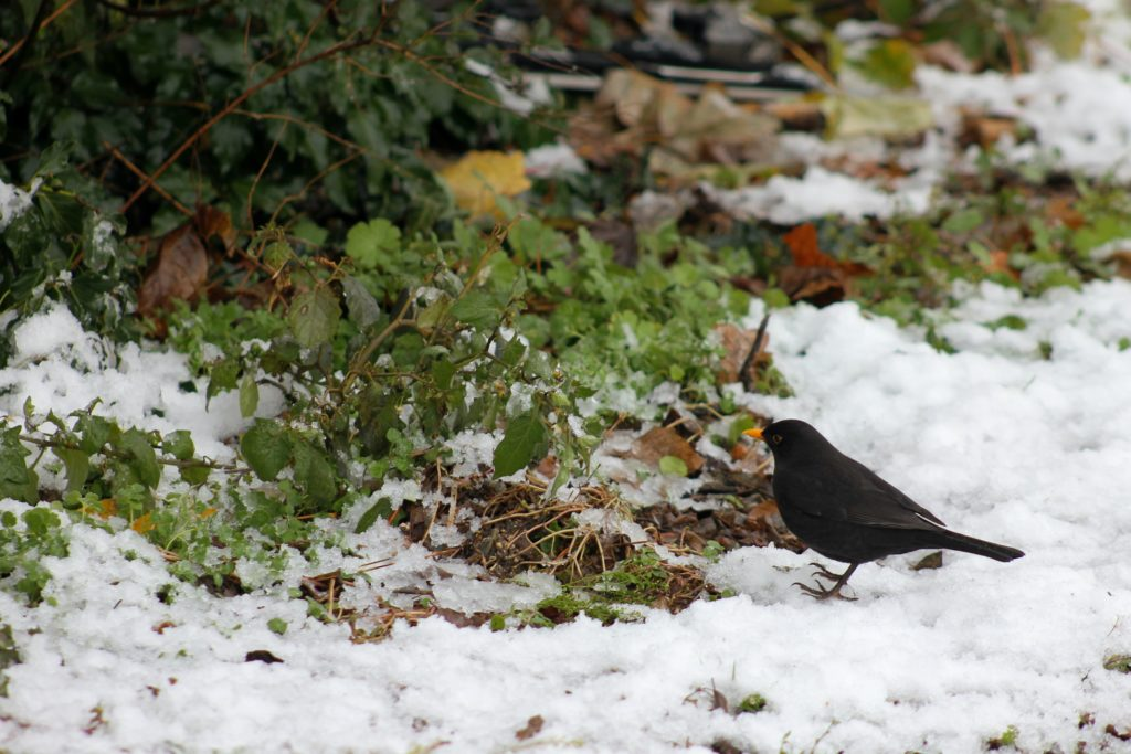 Eine Amsel. Hilf mit bei der NABU Aktion zum Vögelzählen um etwas für den Naturschutz zu tun.