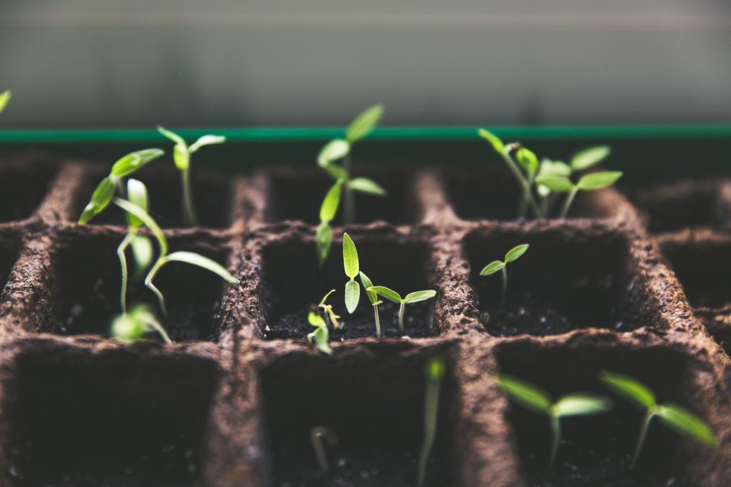Kleine Pflanzen kommen gerade frisch aus der Erde.
