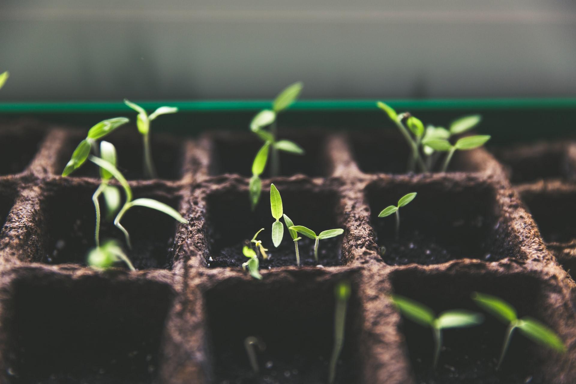 Paprika anziehen: Kleine Pflanzen entwickeln ihre ersten Blätter
