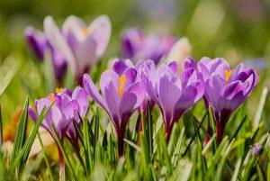 Krokusse in voller Blüte