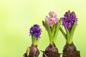 Hyazinthen von ihrem Töpfchen befreit. Wenn sie verblüht sind kann man die Zwiebel neu einpflanzen. Blumengestecke ganz einfach wiederbeleben